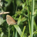 Ringlet Butterfly (Aphantopus hyperantus). This is a ringlet butterfly settled on a blade of grass against a background of green foliage. The butterflies wings Stock Image