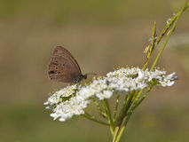 Ringlet butterfly feeding Stock Photography