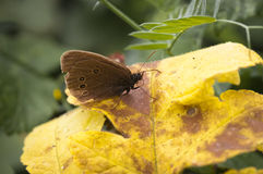 Ringlet Butterfly Royalty Free Stock Photography