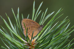 Ringlet butterfly Stock Images
