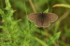 Ringlet butterfly Royalty Free Stock Photo