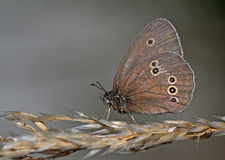 A ringlet butterfly Stock Images