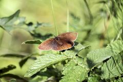 Ringlet butterfly sits on a nettle leaf. Brown butterfly that has wings bearing eyespots. Aphantopus hyperantus stock image