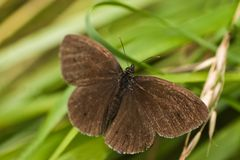 Ringlet butterfly sitting on grass Stock Photography