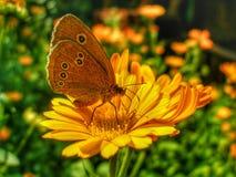 Ringlet butterfly sitting on Marigold flower. stock photo