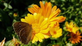 Ringlet butterfly sitting on Marigold flower royalty free stock images