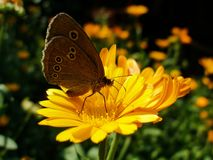 Ringlet butterfly sitting on Marigold flower. Aphantopus Hyperantus - Ringlet butterfly sitting on yellow Marigold flower during sunny summer day Stock Photography