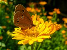 Ringlet butterfly sitting on Marigold flower. stock photo