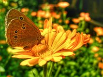 Ringlet butterfly sitting on Marigold flower. royalty free stock images