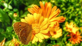 Ringlet butterfly sitting on Marigold flower. royalty free stock photography