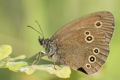A ringlet butterfly on Southampton Common royalty free stock photography