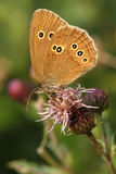 Ringlet butterfly on Thistle Stock Photography