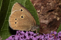 Ringlet butterfly. Royalty Free Stock Photography