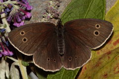 Ringlet butterfly. Royalty Free Stock Images