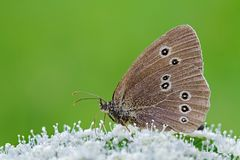 Ringlet butterfly on a white flower Stock Image