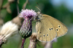Ringlet, Furry Butterfly stock photos