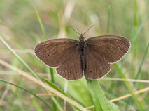 Ringlet in the grass, Aphantopus hyperantus Stock Photos