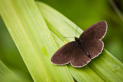 Ringlet on green background Royalty Free Stock Images