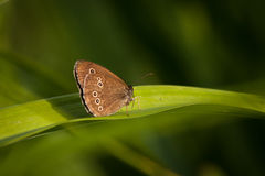 Ringlet on green background Stock Image