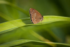 Ringlet on green background Stock Photography