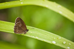 Ringlet on green background Stock Images