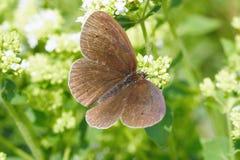 ringlet hyperantus бабочки aphantopus общий Стоковая Фотография RF