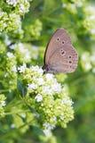 ringlet hyperantus бабочки aphantopus общий стоковая фотография