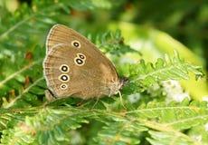 ringlet hyperantus бабочки aphantopus стоковое изображение