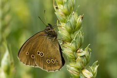 Ringlet - hyperantus Aphantopus стоковые фото