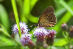 Ringlet - Thistle Royalty Free Stock Image