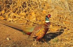 ringneck фазана Стоковые Изображения RF