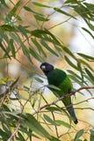 Ringneck australiano, uccello vasto-munito del pappagallo nell'appollaiarsi verde blu sul ramo dell'eucalyptus in Australia occid fotografie stock libere da diritti