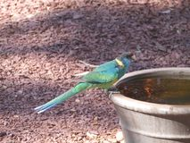Ringneck bird on a water container Royalty Free Stock Photos