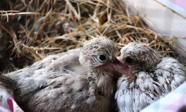 Ringneck Dove Chick Royalty Free Stock Photo