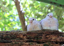Ringneck Dove Chicks (Streptopelia roseogrisea). The African collared dove (Streptopelia roseogrisea) is a small dove found in Africa in the arid region south of Royalty Free Stock Image