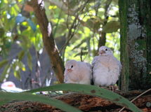 Ringneck Dove Chicks (Streptopelia roseogrisea). The African collared dove (Streptopelia roseogrisea) is a small dove found in Africa in the arid region south of stock photo