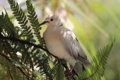 Ringneck Dove (Streptopelia roseogrisea). The African collared dove (Streptopelia roseogrisea) is a small dove found in Africa in the arid region south of the royalty free stock photos