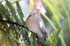 Ringneck Dove (Streptopelia roseogrisea). The African collared dove (Streptopelia roseogrisea) is a small dove found in Africa in the arid region south of the Stock Photos