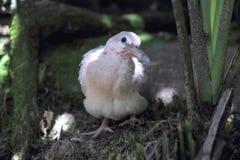 Ringneck gołąbki juvenille (Streptopelia roseogrisea) Obraz Royalty Free