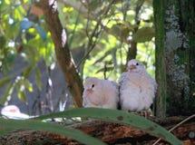 Ringneck gołąbki kurczątka (Streptopelia roseogrisea) Zdjęcie Stock