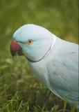 Ringneck-Papagei Lizenzfreies Stockbild