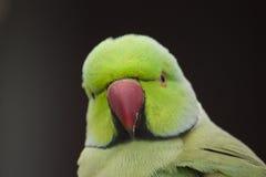 Ringneck-Papagei Lizenzfreie Stockfotos