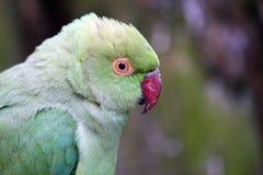 Ringneck Parakeet Lizenzfreie Stockfotos