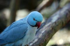 Ringneck parakeet Stock Photo