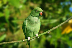 Ringneck Parakeet Royalty Free Stock Photo