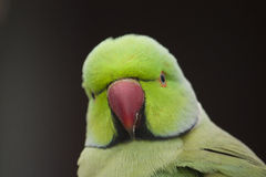 Ringneck Parrot Royalty Free Stock Photos