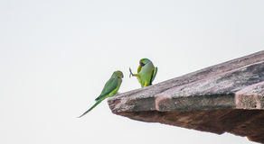 Ringneck Parrots talking to each other Stock Photos