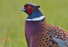 Ringneck Pheasant close up feathers