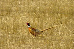 Ringneck pheasant stock photography