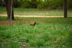 Ringneck Pheasant Phasianus colchicus. In the forest Stock Images